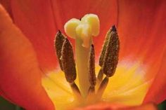 Cuadro Tulip Up Close I
