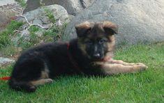 German Shepherd - Wikipedia, the free encyclopedia