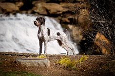 (German Wirehaired Pointer) Greenville, SC by KerrieT, via Flickr