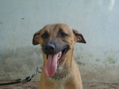 Combai / Indian Bear hound Dog / Kombai Group Of Dogs, Southern Plantations, Pet Dogs, Pets, Hound Dog, Happy Dogs, Dog Breeds, Labrador Retriever, Pictures