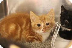 Asheville, NC - Domestic Mediumhair. Meet Randy, a cat for adoption. http://www.adoptapet.com/pet/16692471-asheville-north-carolina-cat