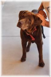 No longer available. John Howard is an adoptable Chocolate Labrador Retriever Dog in Merced, CA. John Howard is a calm older fellow.  He is well behaved and will give you his undivided attention if you have goodies for h...