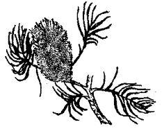 Australian Native Plants for Clay Soils ... from australianplants.org