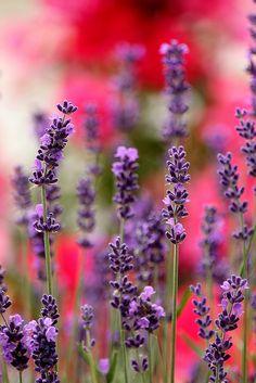 lavander- wild flower theme - photo: C laurence