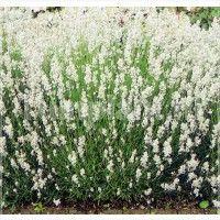 Lavendel wit, Lavandula Angustifolia 'Alba'