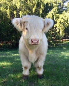 Legendary adorable at-least-cow photos - Lustiges Tier - Animals Cute Baby Cow, Baby Cows, Cute Cows, Cute Babies, Baby Elephants, Baby Farm Animals, Elephant Baby, Fluffy Cows, Fluffy Animals