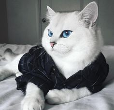 14 Superb Pictures Of The Most Magnificent British Shorthair Cats Funny Cats, Funny Animals, Cute Animals, Beautiful Cats, Animals Beautiful, Gorgeous Eyes, Stunningly Beautiful, Buy Pets, Pet Fashion