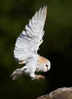 Barn owl in flight. This photo depicts a barn owl flying in daylight. Baby Barn Owl, Barn Owls, Fly Drawing, Owl Sketch, Tyto Alba, Owl Wings, Owl Illustration, Owl Photos, Beautiful Owl