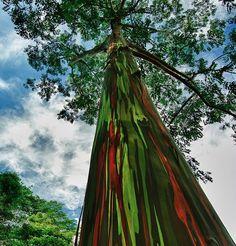 Δέντρα που μοιάζουν με ουράνιο τόξο