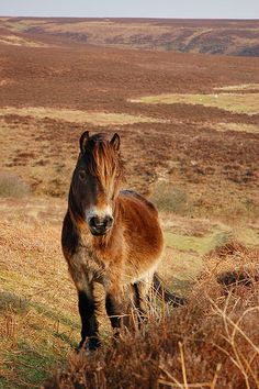 """"""" [This photo] was captured on Brendon Moor in the heart of Exmoor where these ponies largely roam wild. This is indeed a wild animal, but they are fairly tame and if approached carefully will let you get quite close."""" Tim aka Thatbloke"""