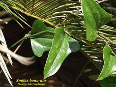Smilax bona-nox - SMILACACEAE - SAW GREENBRIER