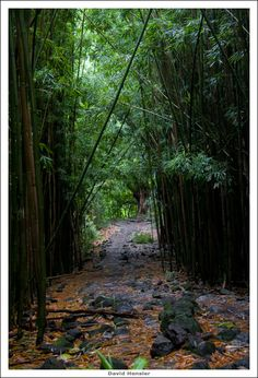 Bamboo Forest 4 by hensler  in Maui.