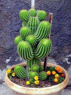 100 Mixed cactus flower flores Succulent plantas lotus Lithops Pseudotruncatella plante bonsai plant for home garden,easy to gro Planting Flowers, Plants, Succulents, Succulents Garden, Succulent Terrarium, Cactus Plants, Unusual Plants, Ornamental Plants, Air Plants