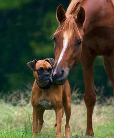*Perfect picture ever! Fawn boxer and a sorrel filly.