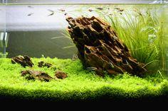 My little personal ADA Mini M Iwagumi style desktop tank. (Needs a little trimming). Plants: Micranthemum 'Monte Carlo' and Eriocaulon sp. Malayattoor (from Tom Barr). Livestock: Tucano Tetras, Blue...