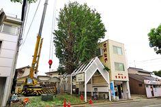 2015年8月19日(水)こんにちは。「加古川の三大銀杏」の1つ。枝の切り落としが始まったと聞いて、自然な姿の写真を撮りに走るも...時すでに遅し。もう終わりかけ(涙)我が家がある小門口町内会のお隣り、寺家町2丁目町内会にあり、小さな頃から見上げて歩いてきた大きな銀杏の木。73歳になる父は子供の頃に木登りをして遊んでいたと話します。それぞれ生活や土地建物の事情があり、開発が進んでいく中のこと。外野にいる我々は、木を残してくださっただけ有り難いと考えるべきなんでしょう。これからも見事な紅葉を見せて欲しいものです。頑張れ、ビストピアの大銀杏(^^  それでは、今日も皆様にとって良い1日になりますように☆ 【加古川・藤井質店】http://www.pawn-fujii.jp/