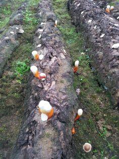쪼매난 영지버섯