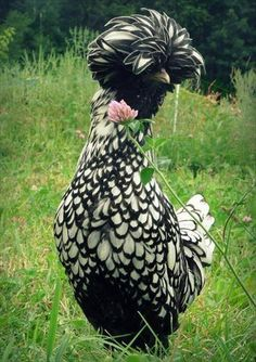 Silver Laced Polish Chicken