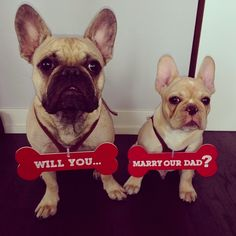 "Will you...marry our Dad?"", French Bulldogs propose for their dad, too cute"