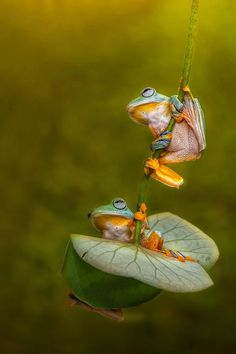 Fotografia Let& Swing Together My Friend de Ellena Susanti na Funny Frogs, Cute Frogs, Reptiles And Amphibians, Mammals, Beautiful Creatures, Animals Beautiful, Animals And Pets, Cute Animals, Flora Und Fauna
