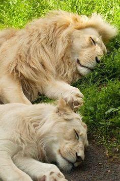 21 Photos Of Cute And Peaceful Sleeping Animals - Pets Spirit Nature Animals, Animals And Pets, Baby Animals, Funny Animals, Cute Animals, Wild Animals, Beautiful Lion, Animals Beautiful, Gato Grande