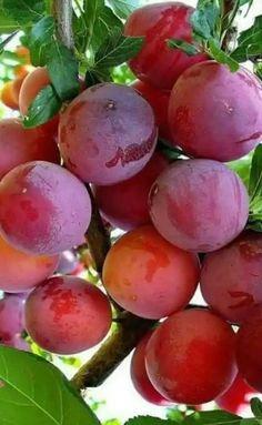 Fruit Plants, Fruit Garden, Fruit Trees, Fruit And Veg, Fruits And Vegetables, Fresh Fruit, Fruit Bearing Trees, Fruits Images, Fruit Photography