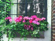 Windowbox with Geraniums, Ivy, Coleus Fall Containers, Flower Containers, Flower Boxes, Tiny Flowers, Blooming Flowers, Window Boxes Summer, Flower Window, Garden Windows, Garden Junk