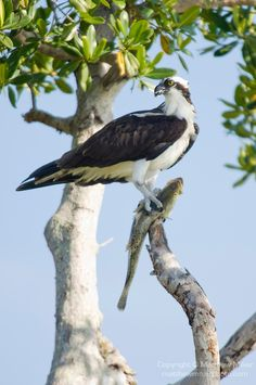 Captiva Island, Florida; an Osprey (Pandion haliaetus) bird stands on a tree branch with a fresh caught fish in it's talons, also known as Seahawk, Fish Hawk or Fish Eagle - Matthew Meier Photography