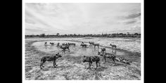 BW photographic print of wild dogs playing in a shallow rain filled pan. Wildlife image by wildlife photographer Dave Hamman at Chitabe camp in the Okavango African Image, Wild Dogs, African Animals, Animal Prints, Wildlife Photography, Fine Art Paper, Art Images, Fine Art Prints, Moose Art