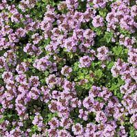 Creeping Thyme, Wild Thyme, Breckland Thyme, Drought tolerant perennial, seaside plant, aromatic perennial, fragrant perennial