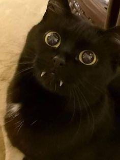 Cute Lil Vampire Kitty : aww Cute Baby Cats, Cute Little Animals, Cute Funny Animals, Funny Cats, Photo Chat, Cat Aesthetic, Cute Creatures, Pretty Cats, Cat Memes