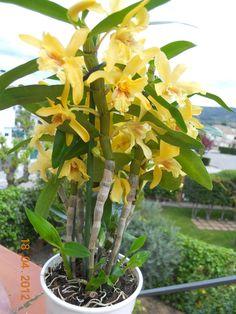 HOA PHONG LAN VIỆT-VIETNAM ORCHIRDS: Dendrobium Stardust