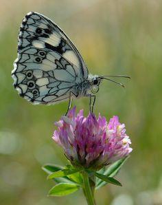 amazing black and white butterfly A las personas que les guste las mariposas parece que sea mármol preciosa