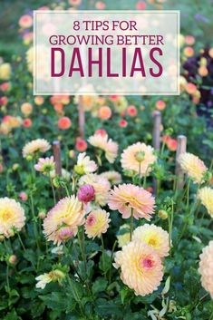 There is nothing difficult about growing dahlias. These flower-producing machines thrive almost everywhere and require little attention. Simply plant the tubers in spring and enjoy months of big, brightly-colored blossoms. Here are 8 expert tips to help you enjoy the very best results.