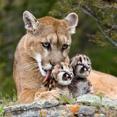 Mountain lion with her cubs                                                                                                                                                                                 More