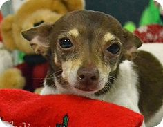 *** GREAT NEWS! *** I'VE BEEN ADOPTED!!!  Searcy, AR - Chihuahua Mix. Meet Mimi, a dog for adoption. http://www.adoptapet.com/pet/12145596-searcy-arkansas-chihuahua-mix