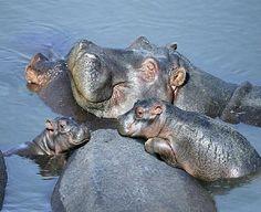 Baby Hippo | baby hippo family | Animals - Jungle & Safari