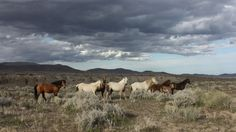 American Wild Horse Preservation Campaign Virginia Range wild horses. Photo by Leigh Mueller.