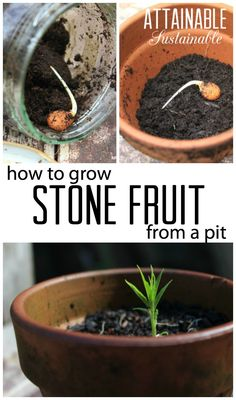 Growing stone fruit - nectarines, peaches, plums - from seed is easy. Here's how to expand your homestead orchard for free!