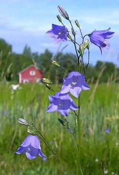 Kissankello, Campanula rotundifolia - Kukkakasvit - LuontoPortti
