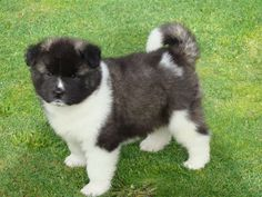 Cute Akita Puppies Pictures Akita puppies nursed by its mother for several months to be able to find their own food. Akita Puppies, Akita Dog, Puppies And Kitties, Doggies, I Love Dogs, Cute Dogs, Baby Animals, Cute Animals, World Cutest Dog