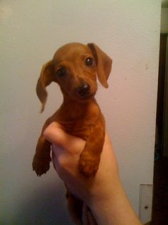 This little doxie is almost full grown in this pic.  We have kept her as one of our house pets and she topped out at 5 pounds and a few ounces.   Super tiny for a mini dachshund.  A puppy party regular.
