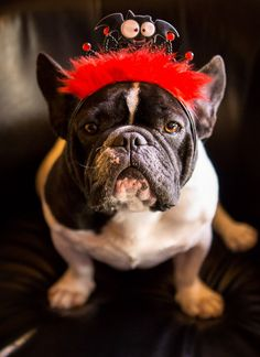 """This IS my Party Face.....take the picture!"" French Bulldog."