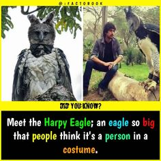 Harpy eagle very large that you think it is human Alien Facts, Wierd Facts, Wow Facts, Intresting Facts, Wtf Fun Facts, Funny Facts, Facts About Aliens, Interesting Science Facts, Interesting Facts About World