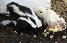 Albino skunks