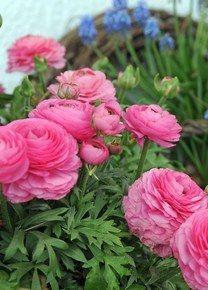 Ranunculus (ranonkels) zijn romantische bloeiers die je in bloembakken, bloemperken of hangmanden kan gebruiken.