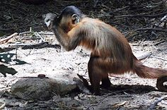 The capuchin monkeys of Brazil's Serra da Capivara National Park use stone hammers and anvils to crack open cashews — just as their parents did, and their parents' parents, and so on back for at least 700 years. Theirs one of the oldest known examples of nonhuman tool use; so old, in fact, that researchers studying