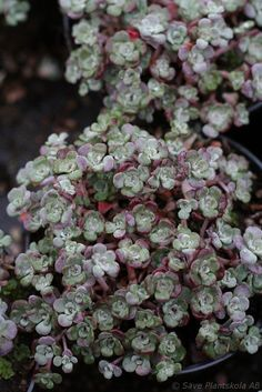 Image result for images of saxifraga  tri colour mother of thousands
