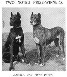 """Majestic"" and ""Tiger Queen"" 1897 prize-winning Black and Brindle Danes. Notice the white chests and toes."