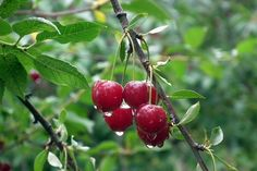 cherry,cherries,cirese,ploaie,rain,fruit